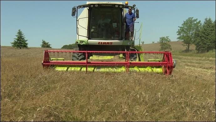 Boş Duran Arazilerde İlk Buğday Hasadı Yapıldı