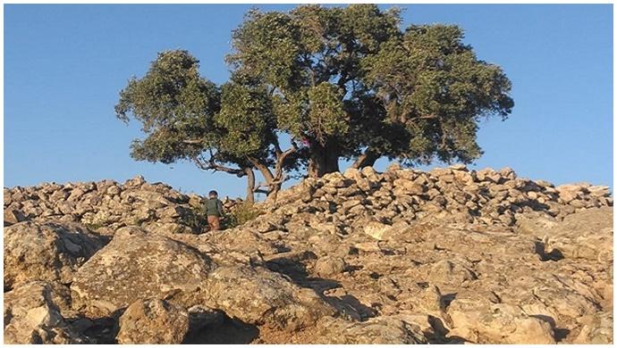 Bu Ağaç 2 Bin Yaşında!-(Videolu)