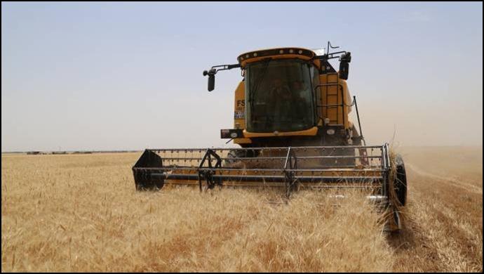 Buğdayda hasat gecikmeli başladı: Maliyet kurtarılmıyor