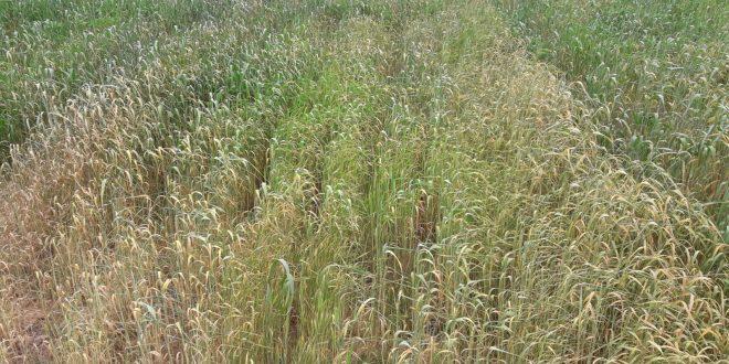 DSİ, bir an önce suyu bırakmazsa tarım arazileri kuruyacak !