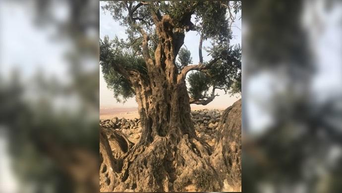Şanlıurfa Akçakale'deki zeytin ağacı 1326 yaşında!