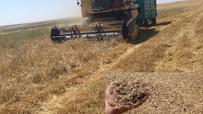 Şanlıurfa çiftçisi çaresiz: Kuraklık hububat üretimini olumsuz etkiledi