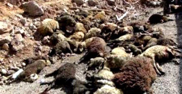 Şanlıurfa'da arabanın çarptığı koyunlar telef oldu