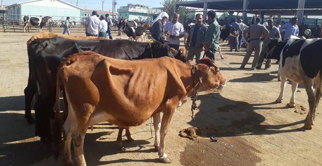 Şanlıurfa'da Hayvan Bağlama Kavgası:11 Yaralı