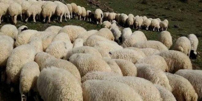 Şanlıurfa'da koyun sürüsüne otomobil daldı …