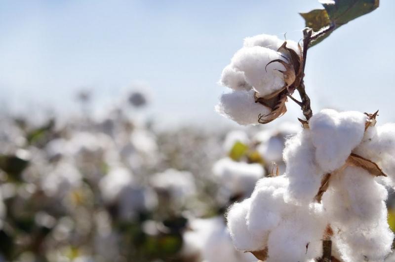 Şanlıurfa'da preseli pamuk güne nasıl başladı?
