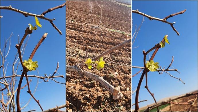 Şanlıurfa'da Üzüm Ağacı Mevsimi şaşırdı Kışın ortasında Yaprak Açtı