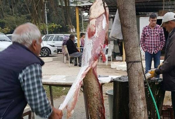 Seyhan Nehri'nde 1.70 metre uzunluğunda balık tutuldu