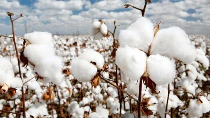 Türkiye pamuk üretiminde dünya altıncısı, ithalatta beşinci