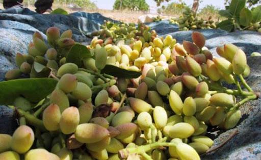Urfa'da fıstığa corona etkisi!