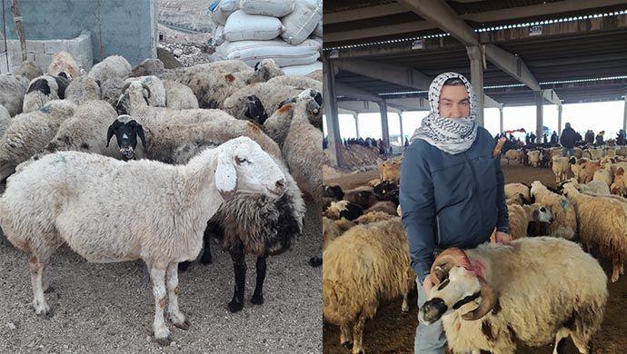 Urfa'da kurbanlıklar görücüye çıktı: İşte kurbanlıklarda son durum