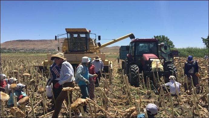 Yerli ay çekirdeği için çiftçiye sürdürülebilir üretim desteği
