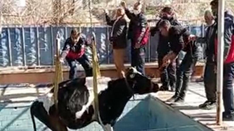 Yüzme havuzuna düşen inek itfaiye ekiplerince kurtarıldı